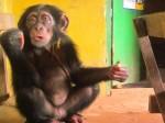 Jacob the Chimp