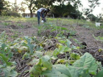 Applying fungicide to Charleston Gray