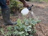 Spraying fungicide